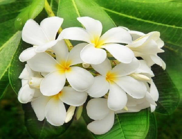 Fleurs De Jasmin Photos