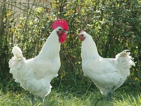 """Résultat de recherche d'images pour """"poulet et chapon"""""""