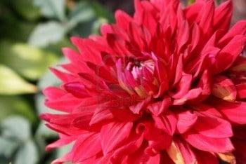 Dahlia rouge