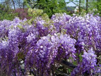 Fleurs de glycine