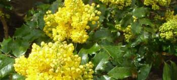 Fleurs de mahonia