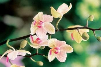 Orchidée papillon rosé