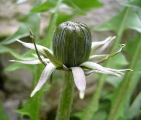 Bouton de fleur de pissenlit