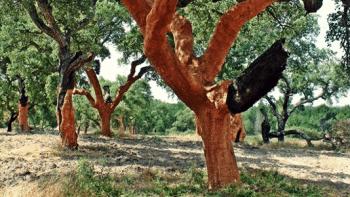 Chênes-lièges portugais récoltés