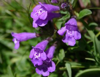 Fleurs de sarriette des Alpes