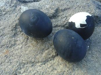 Œufs cuits à Onsen