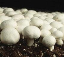 Champignons de Paris (Agaricus bisporus)