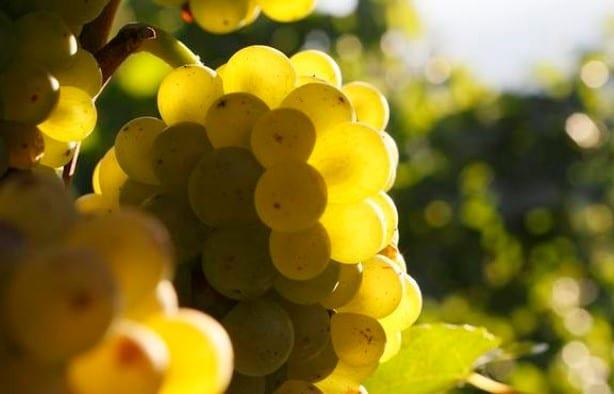 Cépage Pinot blanc d'Alsace