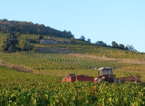 Vendanges des vignes de Beaujolais AOC