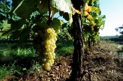 Vigne de muscat d'Alsace