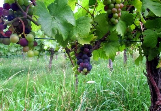 Vigne de pinot noir