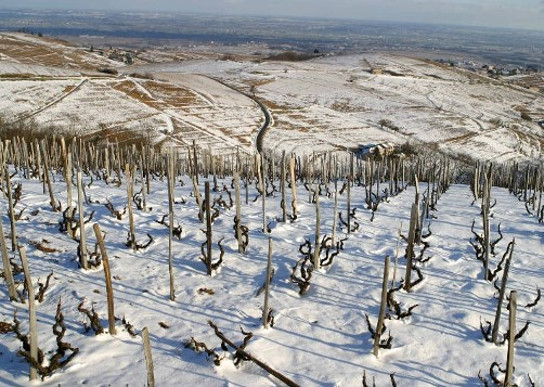 Vignes de Chiroubles sous la neige