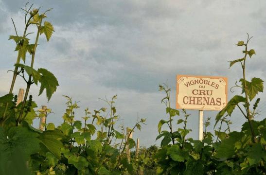 Vignoble de Chénas