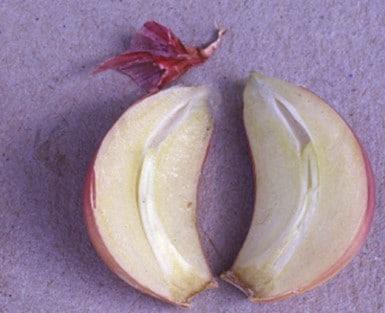 Ail rouge de Sulmona (coupe)