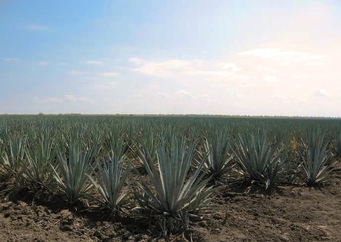 Champ d'Agave tequilana