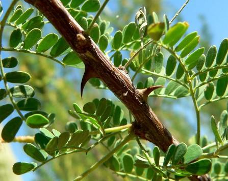 Feuillage et épines d'acacia