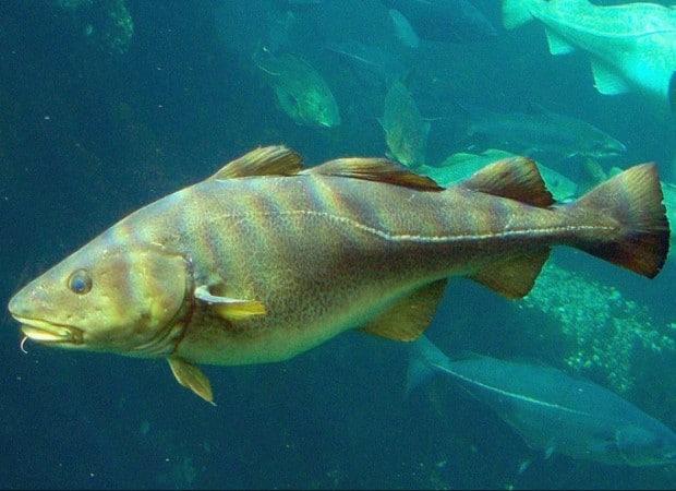 """Résultat de recherche d'images pour """"photos morue poisson"""""""