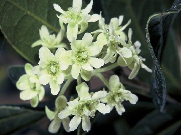 Fleur de boldo
