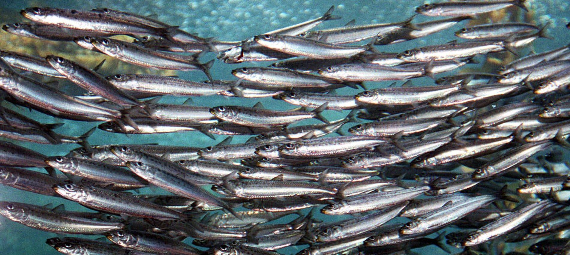 Sardine conserve des sardines l huile - Conserve de sardines maison ...