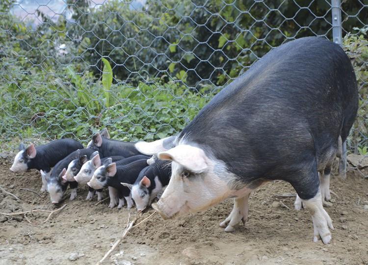 Porcs Mora Romagnola