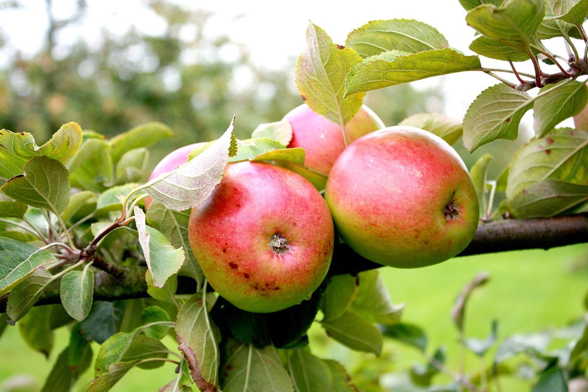 Pommes à cidre de Normandie
