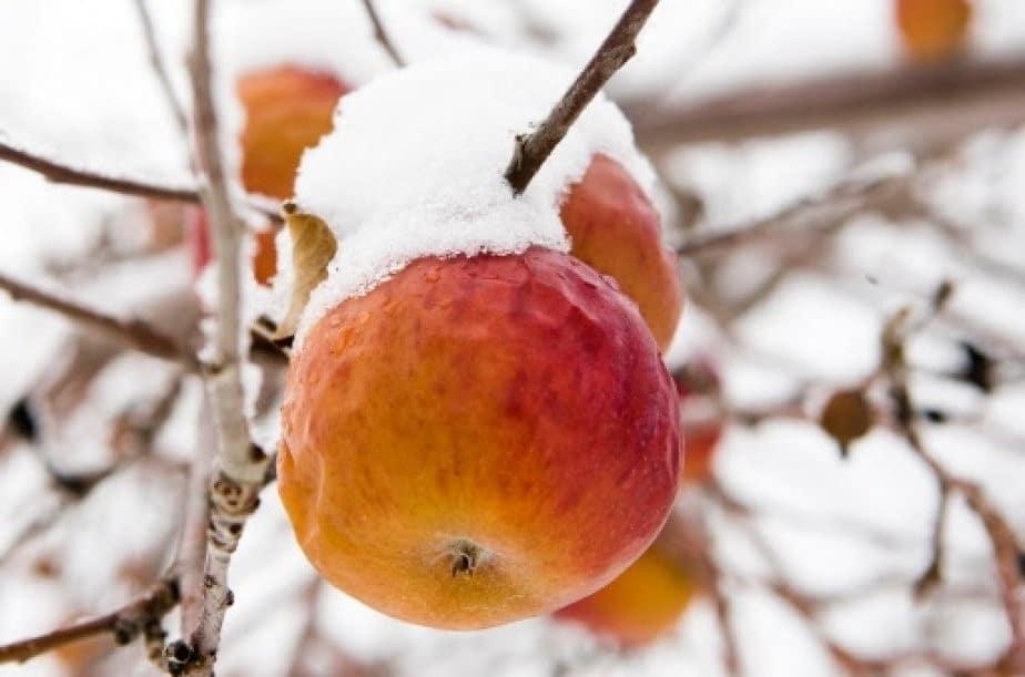 Pommes à cidre gelées