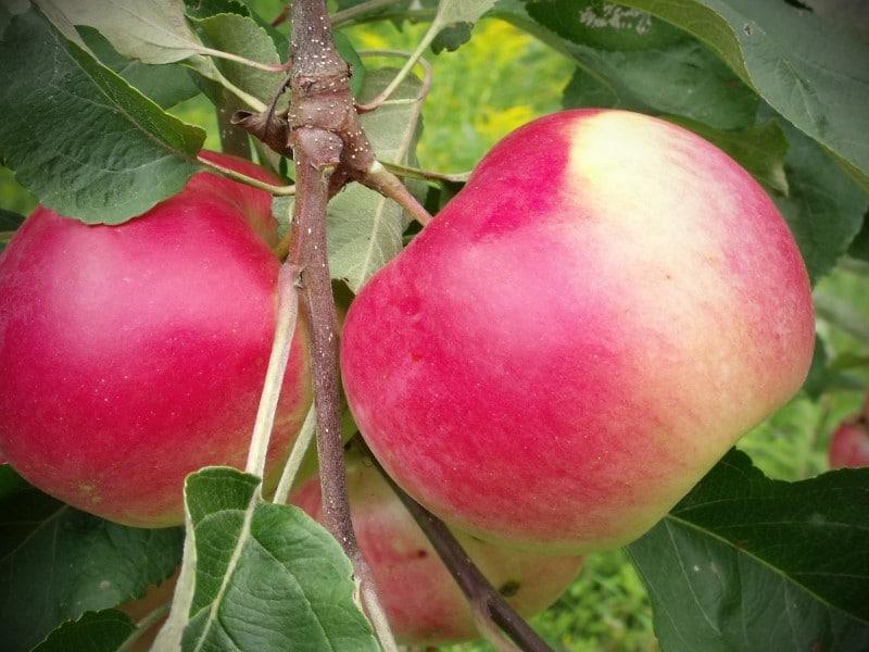 Pommes Mcintosch
