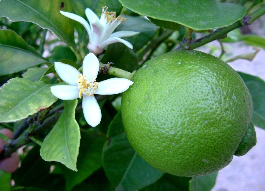 Lime et fleurs de limettier