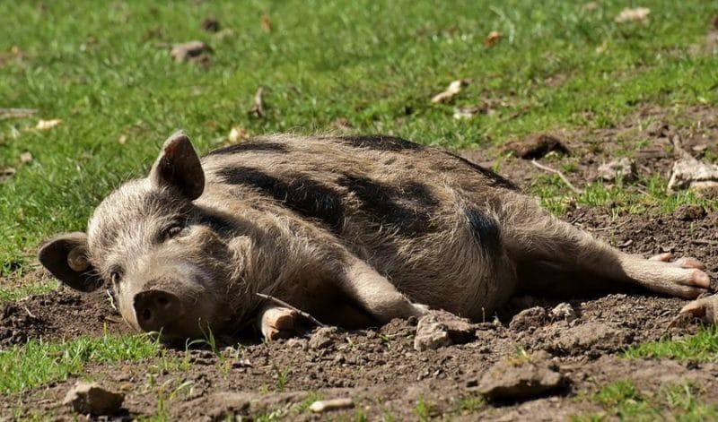 Porc au repos