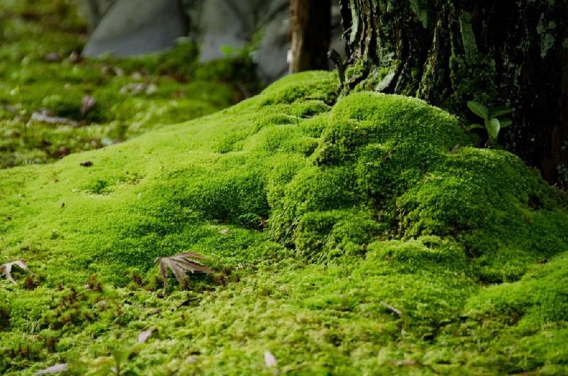 Mousse de jardin japonais