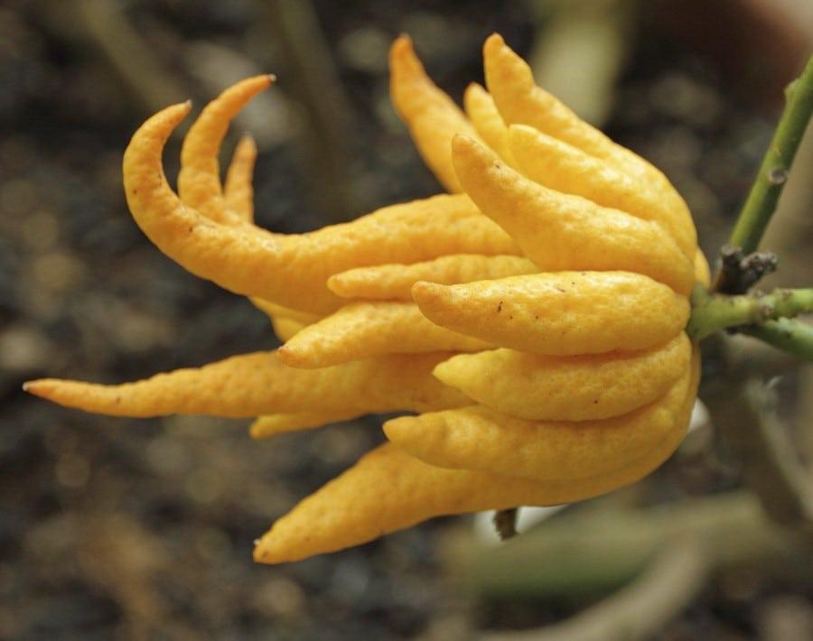 Main de Bouddha Citrus medica var. sarcodactylis