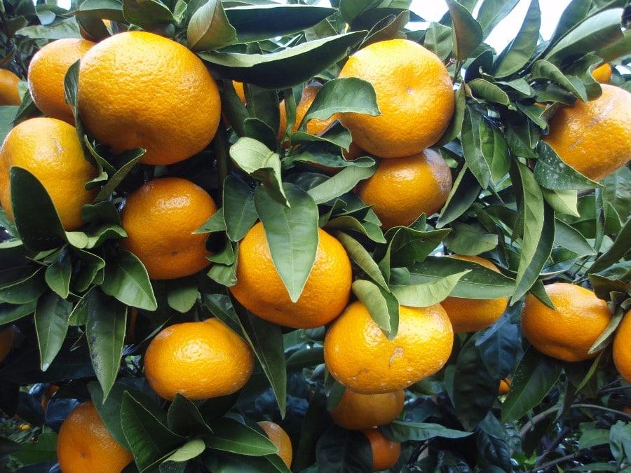 Mandarine mikan