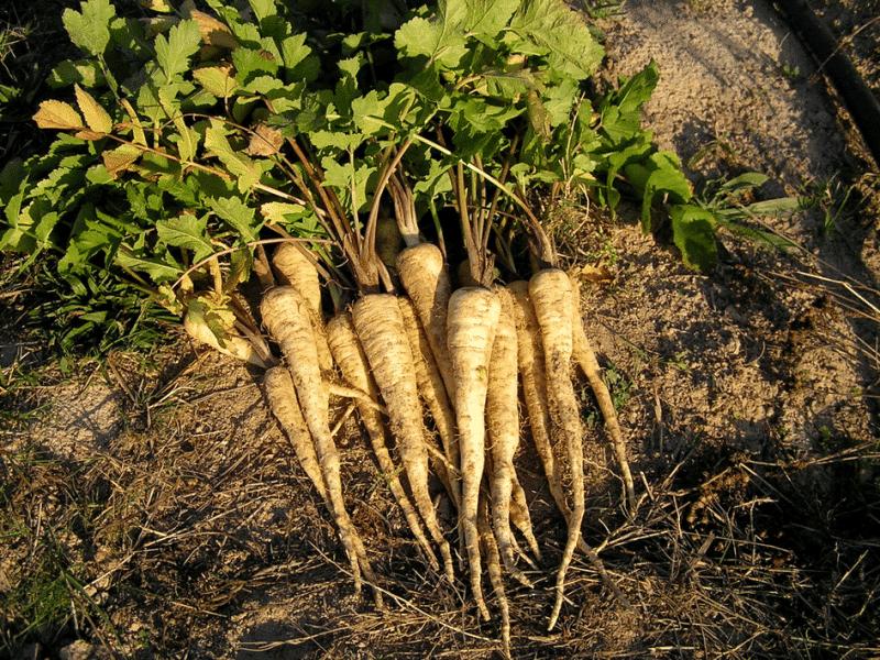 Panais Pastinaca sativa L. subsp. sativa
