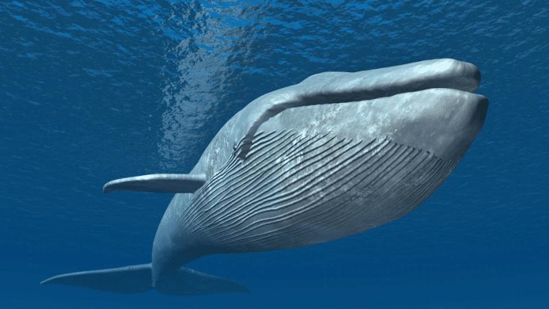 Grande baleine bleue