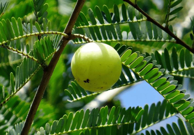 Amla Phyllanthus emblica