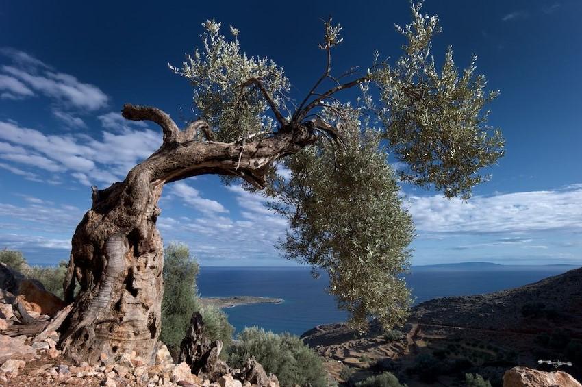 Vieil olivier crétois