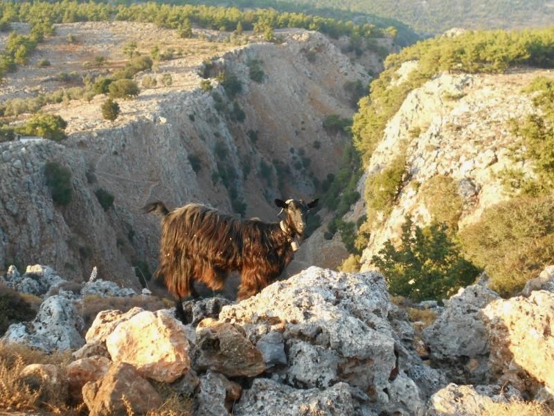 Chèvre crétoise