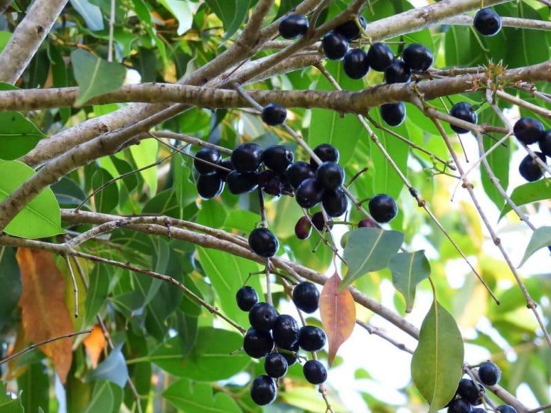 Jamelonier Syzygium cumini