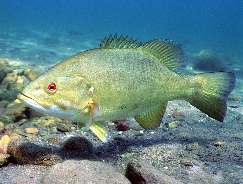 Black bass micropterus spp