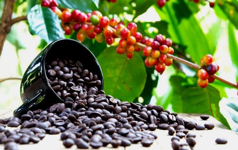 Café arabica Coffea arabica