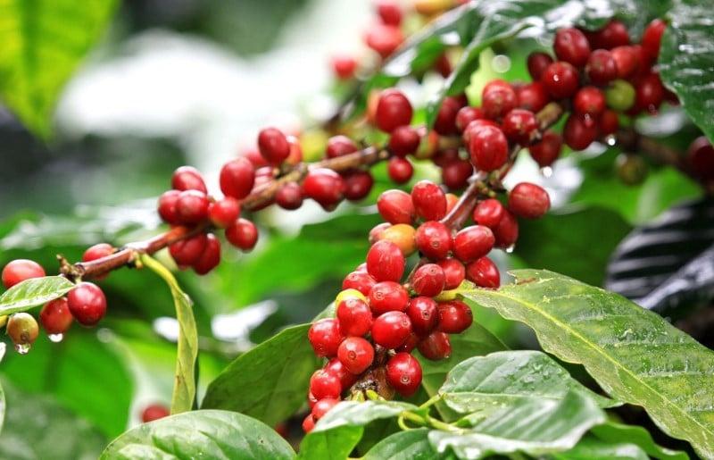 Café robusta Coffea canephora