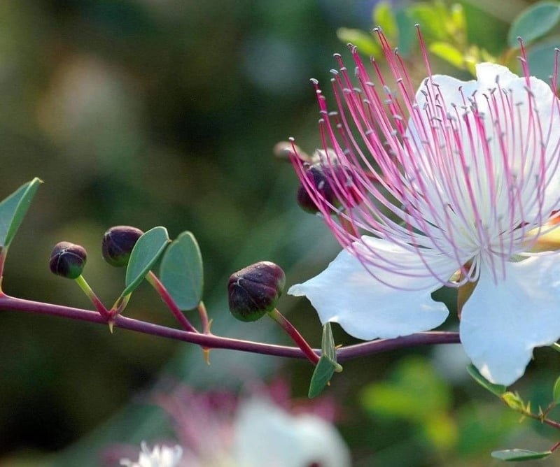 Fleur de câprier et câprons en formation