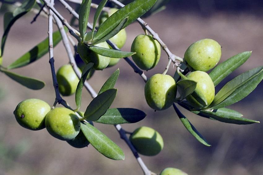 Olives grossane