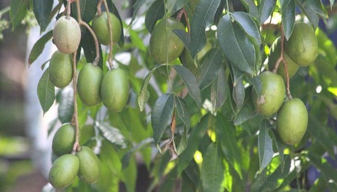 Prune de Cythère Spondias dulcis