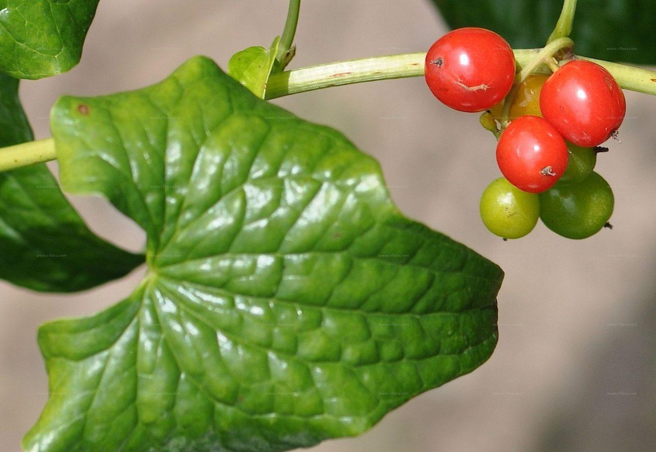 Respounchous, Dioscorea communis