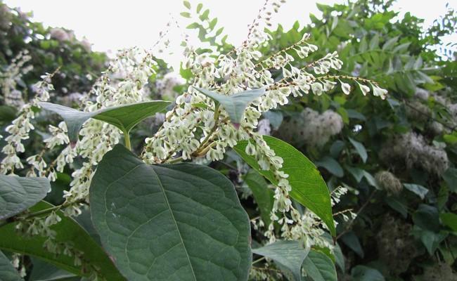 Renouée du Japon, Fallopia japonica