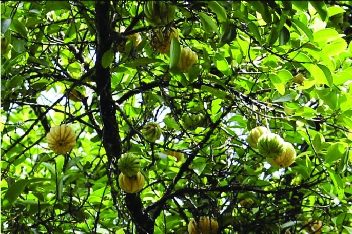 Tamarinier de Malabar, Garcinia gummi-gutta