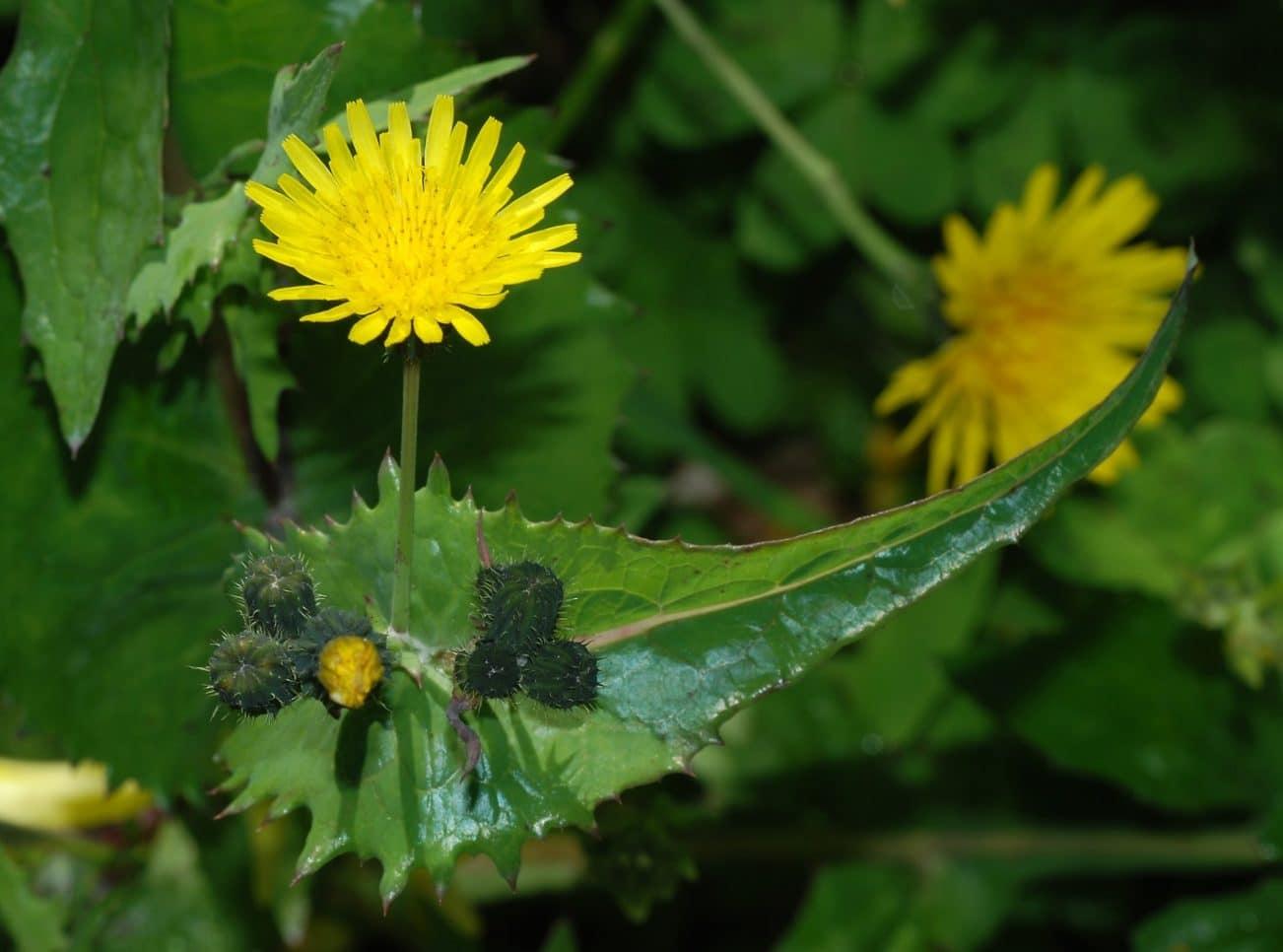 Grespino commun, Sonchus oleraceus