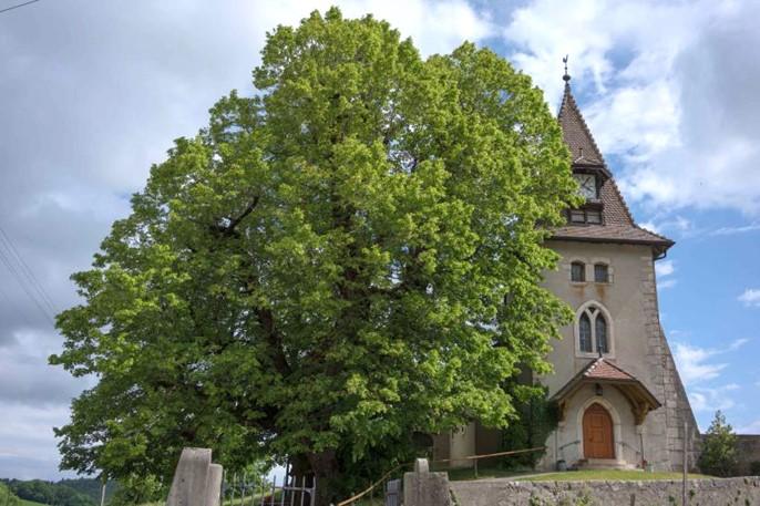 Tilleul âgé de 700 ans à Marchissy en Suisse