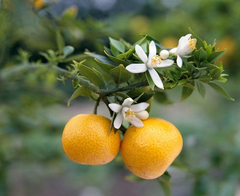 Bigarade, Citrus aurantium L.
